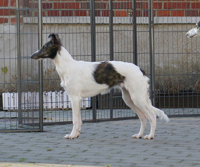 Silken Windhound Fay of SilkenJoy