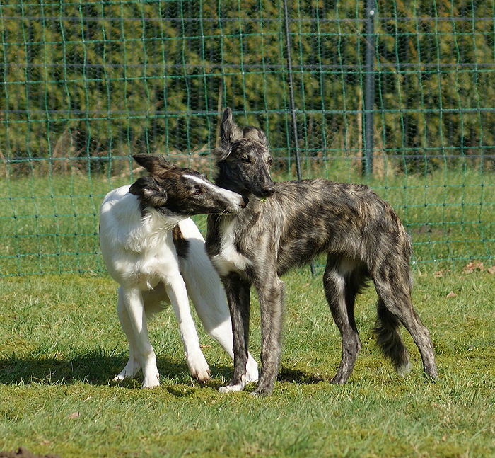 Silken Windhounds Morgaine und Fay