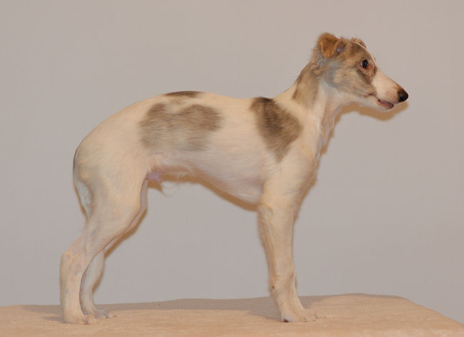 Merlin of SilkenJoy - Silken Windhound