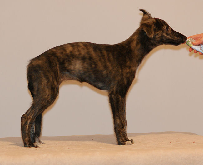 Morgaine of SilkenJoy - Silken Windhound puppy / Welpe