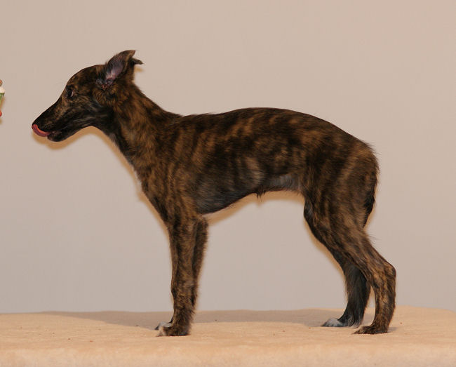 Silken Windhound puppy, Morgaine of SilkenJoy